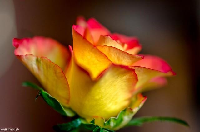 Die letzte Rose in diesem Jahr