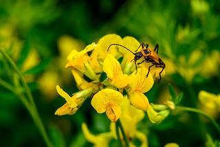 Long Horn beetle