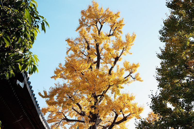 A brilliantly yellow tree in fall