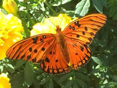 Gulf Fritillary - Agraulis vanillae, Boone Hall Plantation, Mt. Pleasant, South Carolina