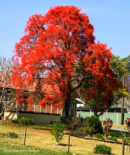 Brachychiton acerifolius - Illawarra Flame Tree Flowering at Glenthorne Beside the Manning River, Taree, NSW | by Black Diamond Images