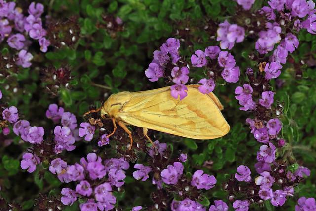 3.005 Ghost Moth (Hepialus humuli), Burntisland, Fife