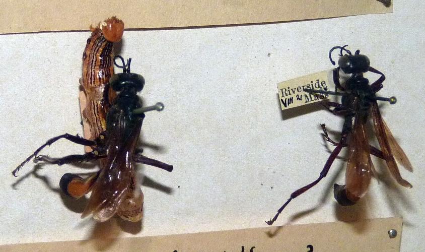 Ammophila urnaria 49011493698_3ec9f0dcf3_o