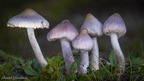 Lilac Fibrecap