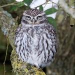 "Little Owl ""Athene noctua"""