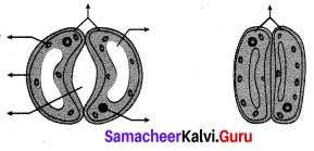 Samacheer Kalvi 10th Science Solutions Chapter 14 Transportation in Plants and Circulation in Animals 4