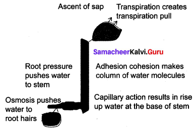 Samacheer Kalvi 10th Science Solutions Chapter 14 Transportation in Plants and Circulation in Animals 1