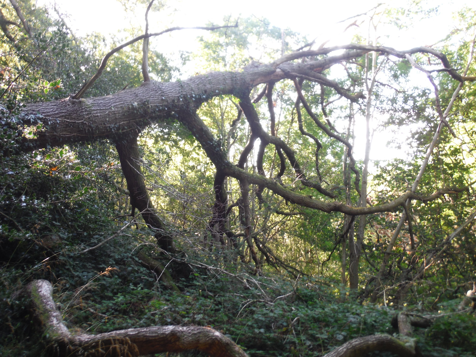 Fallen Tree in Strawberry Cottage Wood NR SWC Walk 347 - Llanvihangel Crucorney Circular (via Bryn Arw and The Skirrid)