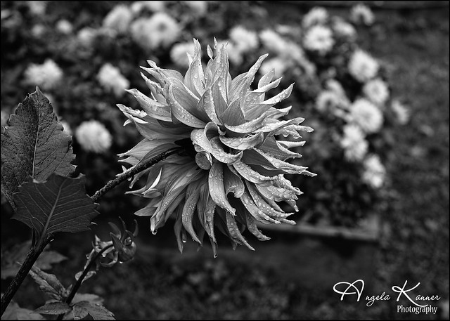 Drenched Dahlia...