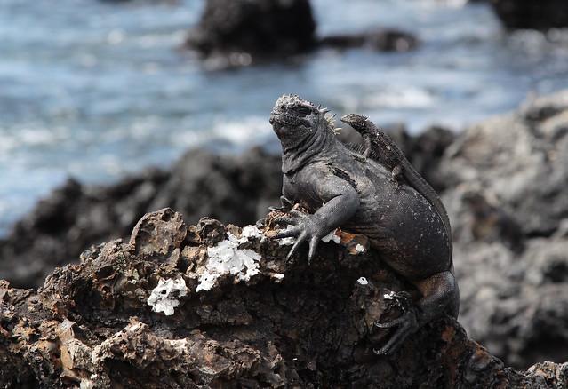 Iguana marina & lava lizard