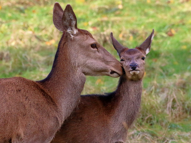 Red Deer, Hind and Calf
