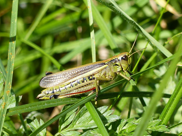 Large Marsh Grasshopper - Sumpfschrecke