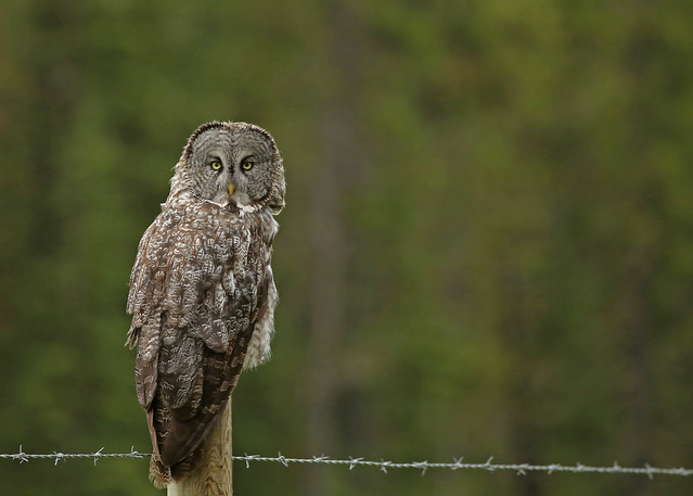 Great Gray Owl...#35