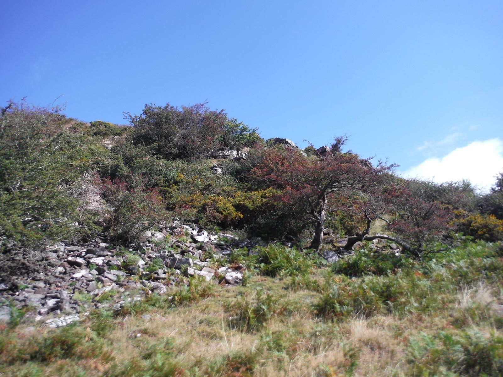 Hawthorns on Descent of Bryn Arw SWC Walk 347 - Llanvihangel Crucorney Circular (via Bryn Arw and The Skirrid)