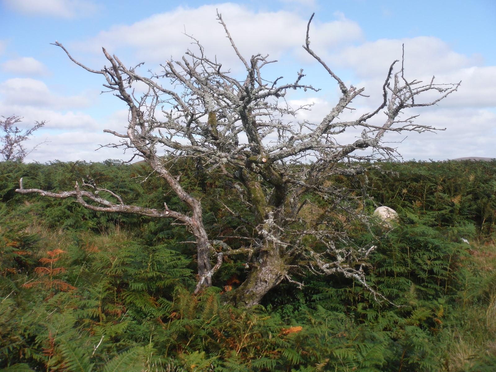 Dead Tree, Bryn Arw SWC Walk 347 - Llanvihangel Crucorney Circular (via Bryn Arw and The Skirrid)