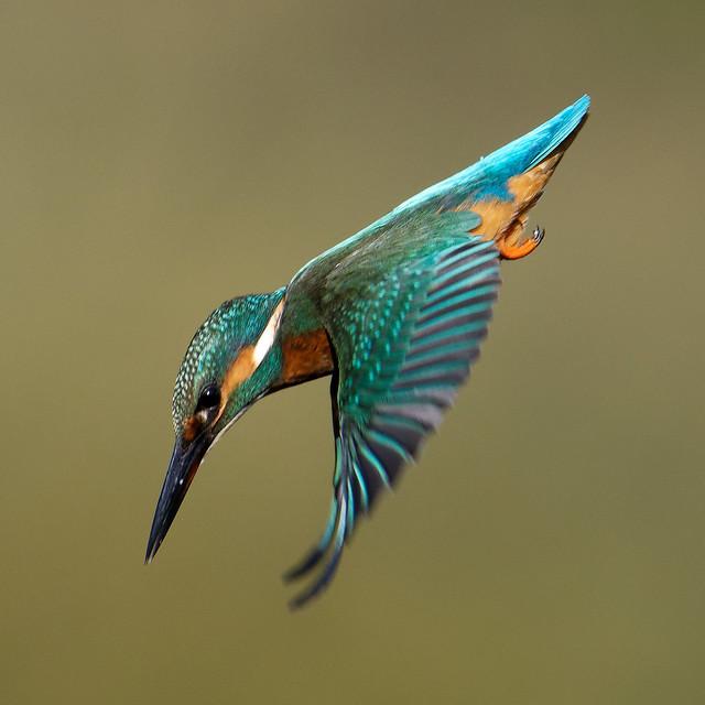 Yet more Kingfishers 2