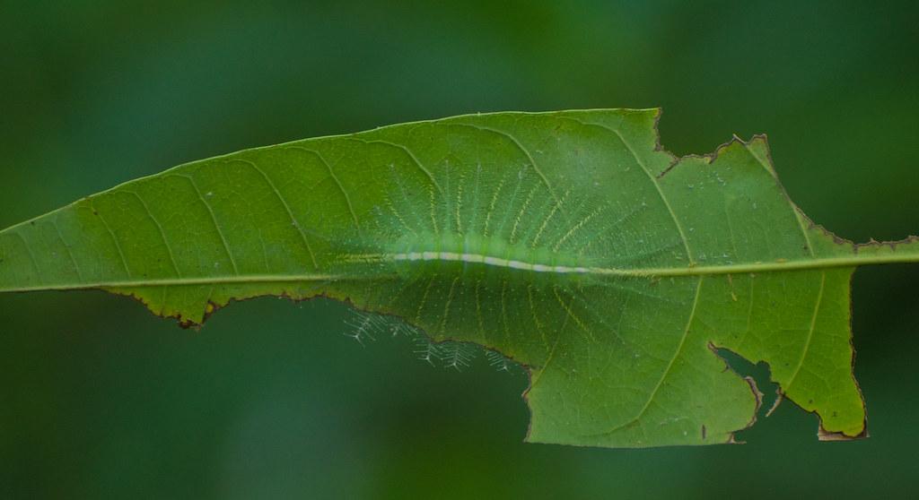 Common Baron caterpillar
