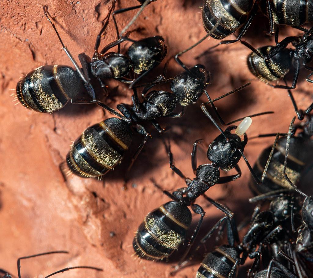 Black Ants_1