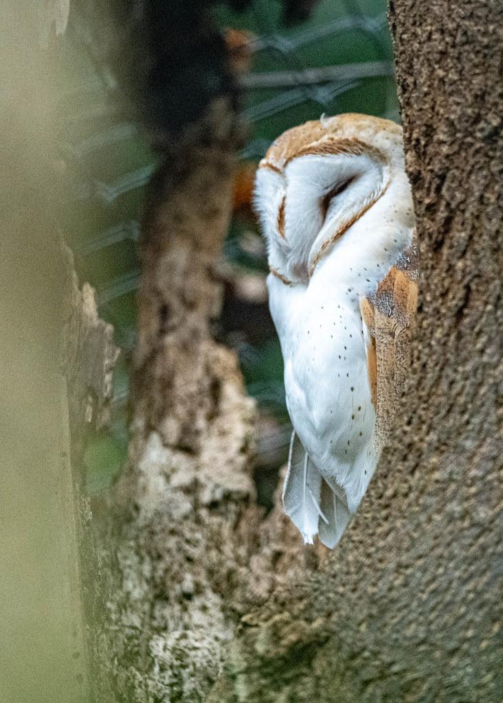 Barn Owl_1
