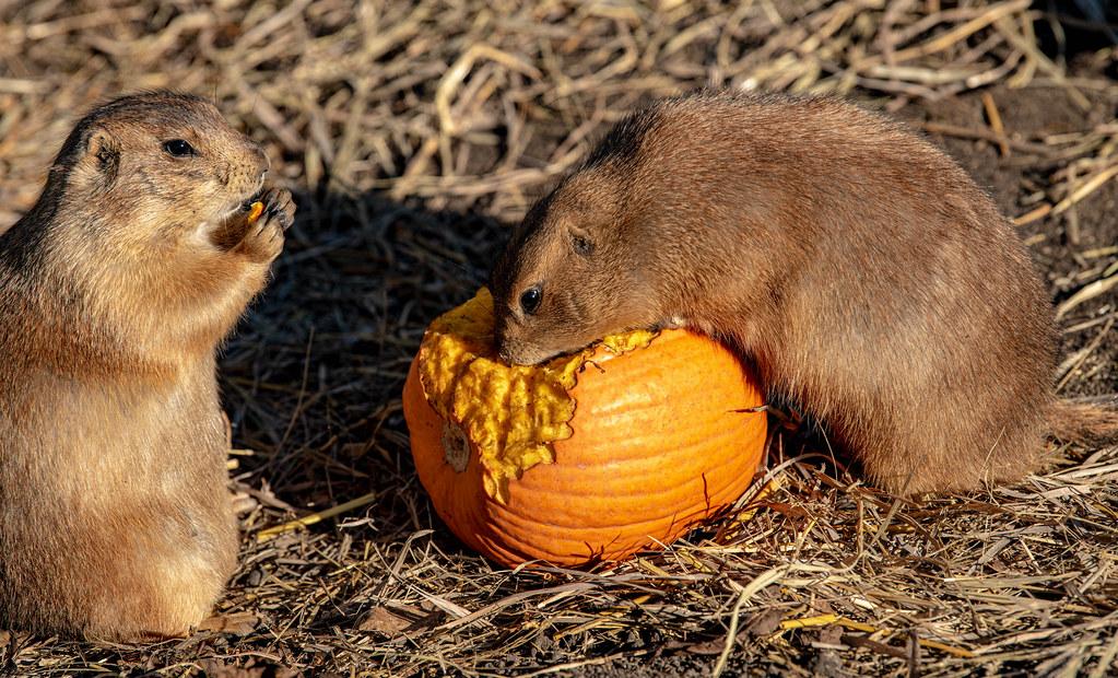 Prairie Dog_4
