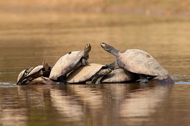 Yellow-spotted Amazon River Turtles