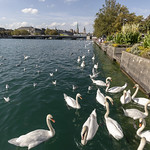 Zurich swans