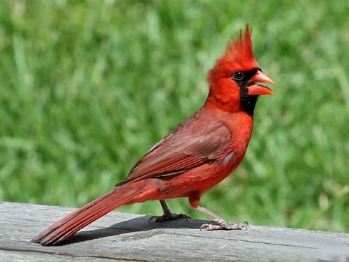 cardinal-figure2