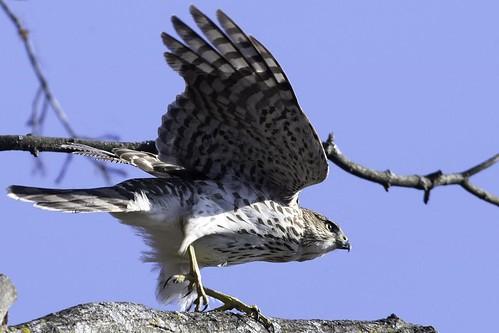 hawk-figure3