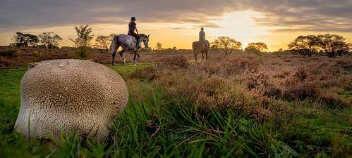 laren noordholland nederland sunset horses plooivoetstuifzwam mushroom cffaa
