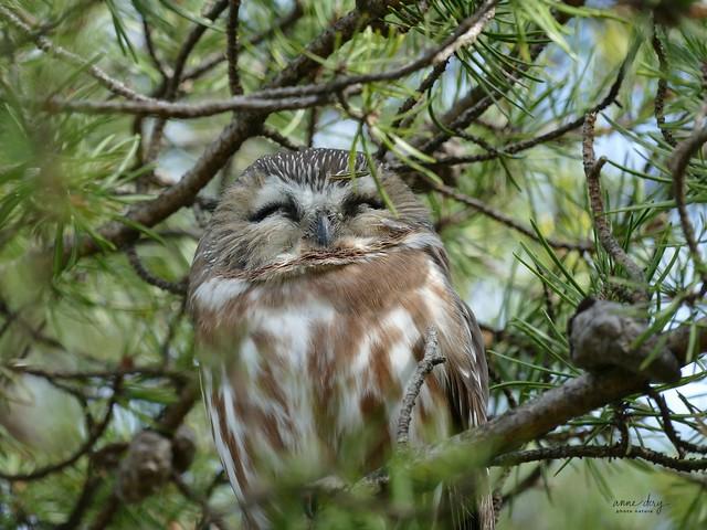08777 Petite Nyctale / Aegolius acadicus / Northern Saw-whet Owl