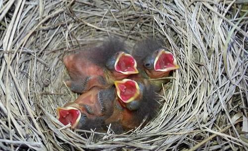 nestlings-figure4