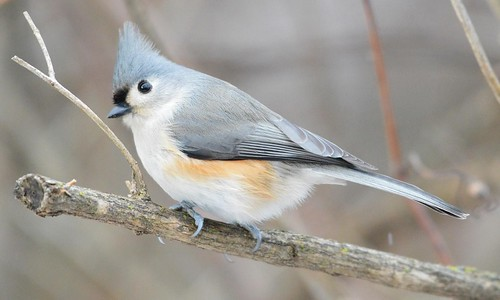 titmouse-figure5