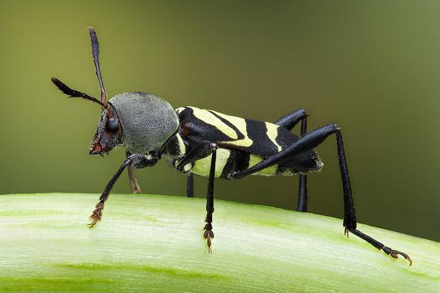 Mecometopus globicollis ♂