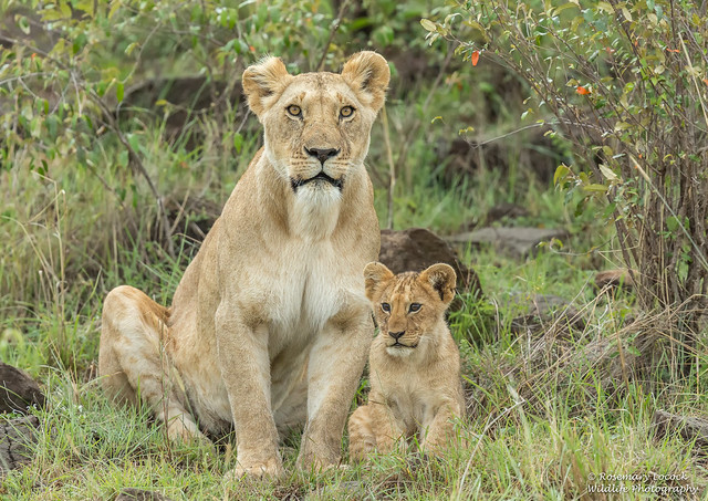 African Lioness and Cub - Panthera leo