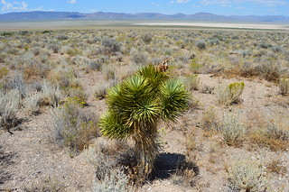 Yucca brevifolia Lincoln Co., NV 7.31.1 | by geodesert