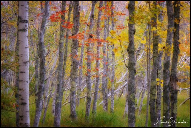 Glow birches-3