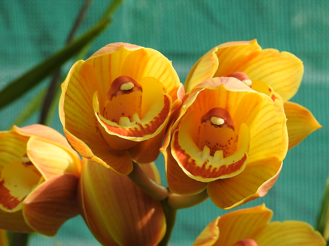 Yellow and Orange Orchid