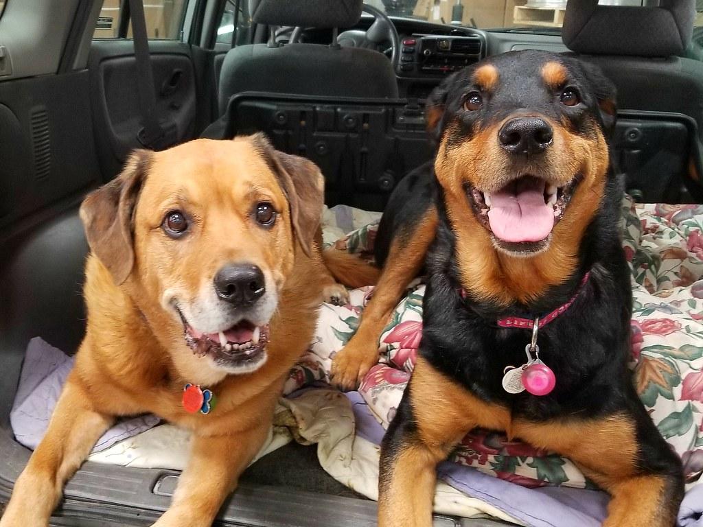 mastiff rottweiler senior dogs