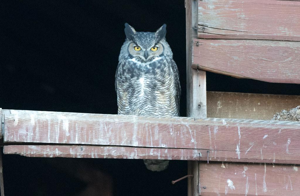 Owl 3 (1 of 1)