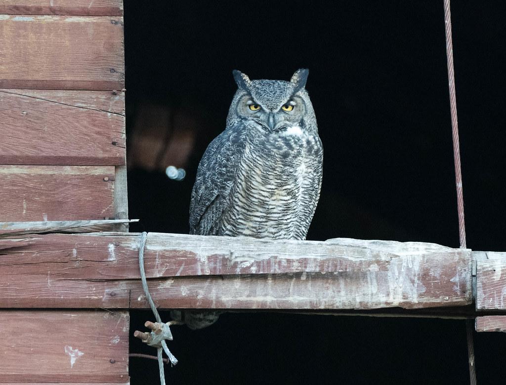 Owl 2 (1 of 1)