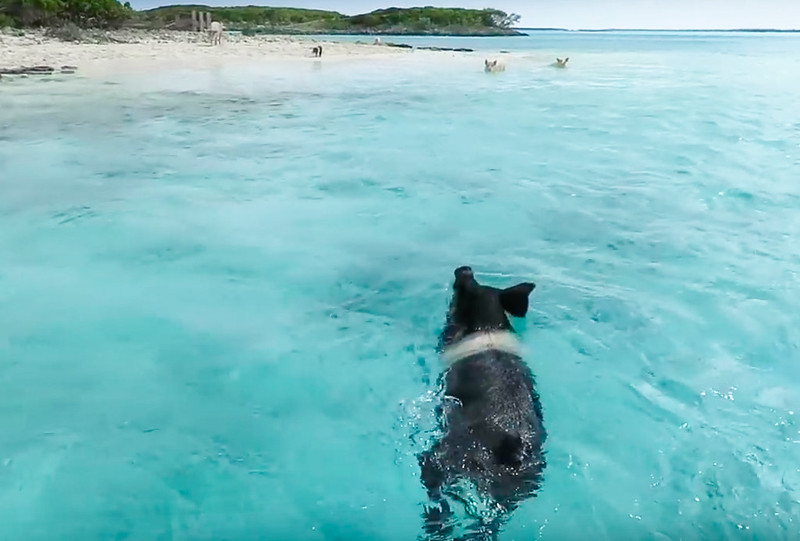 Cerditos nadadores Bahamas-9
