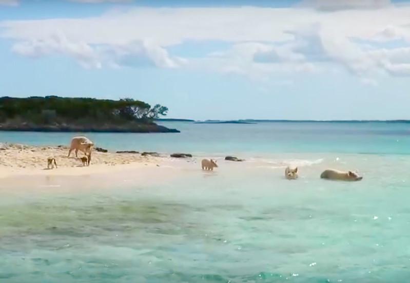 Cerditos nadadores Bahamas-4
