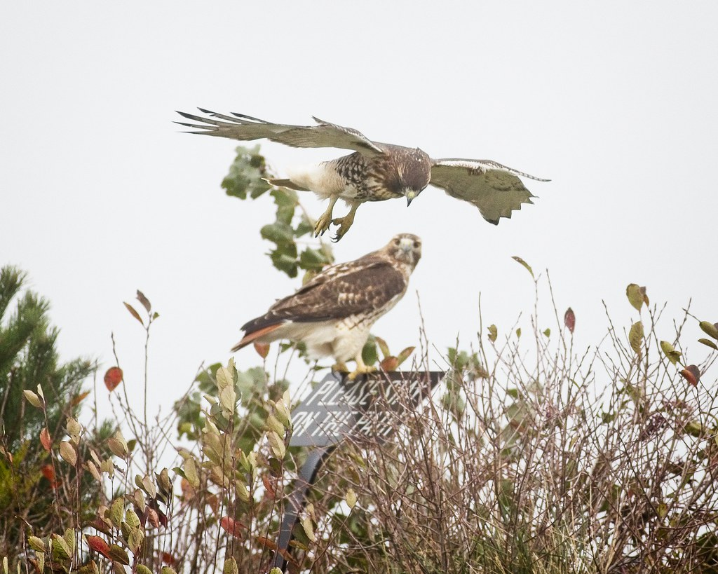 Red-tails on Governors Island