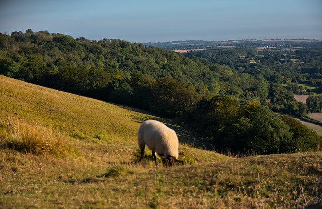 Sheep on the Kent Downs near Wye