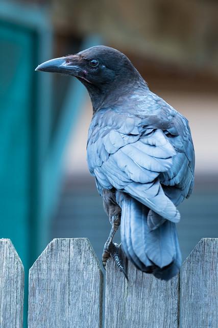 Juvenile Raven on Fence