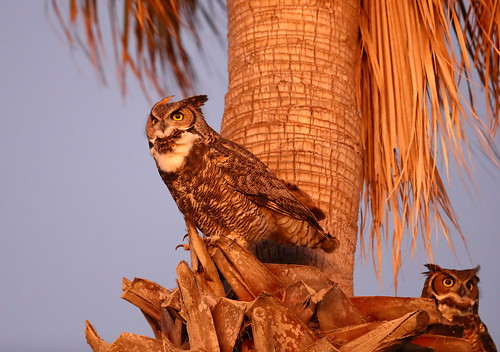 The great horned owl pair at Alta Vicente