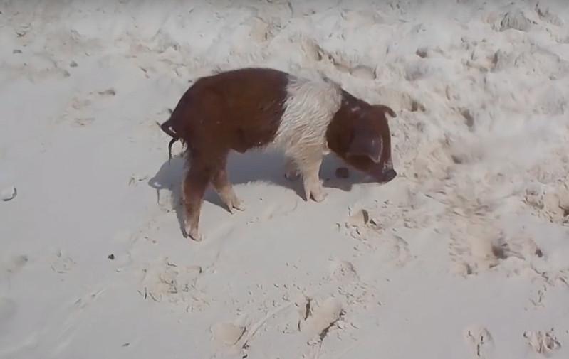 Cerditos nadadores Bahamas-13