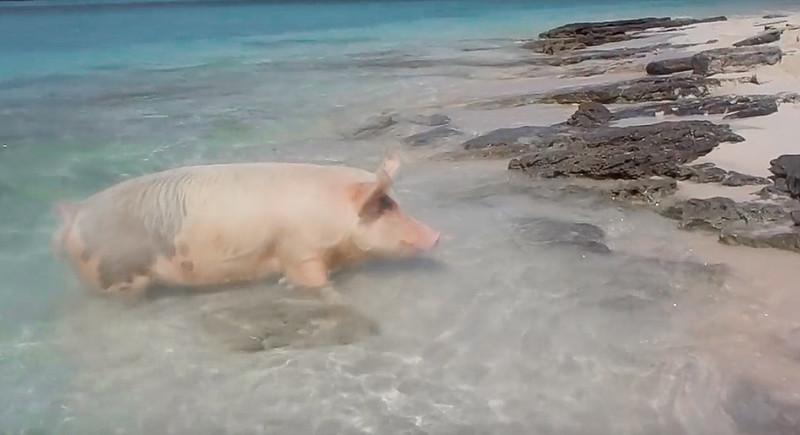 Cerditos nadadores Bahamas-11
