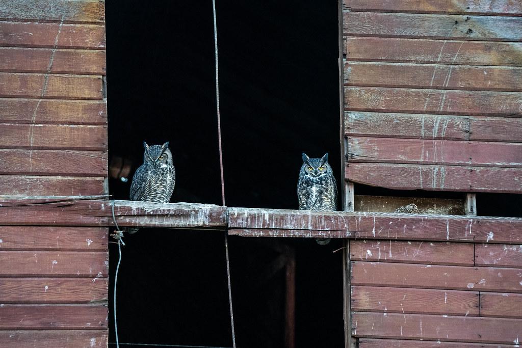 Owl 1 (1 of 1)
