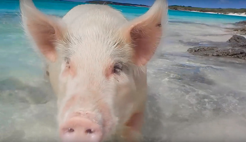 Cerditos nadadores Bahamas-12
